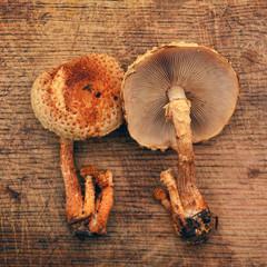 pholiota squarrosa mushroom