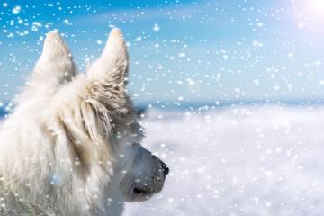 White shepherd in snowfall
