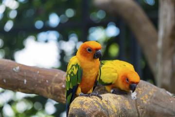 Cute sun conure parrot