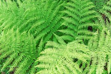 Green lush fern
