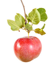 ripe apple on a branch with leaves. isolated on white background