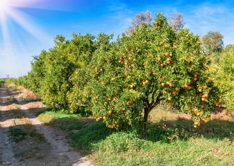 orange trees in the garden