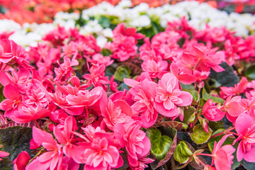 Magenta pink begonia flowers macro closeup with pattern