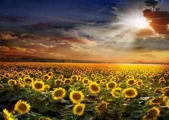 Beautiful sunflowers field on sunset background