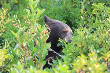 Grizzly bear (Ursus arctos horribilis), Glacier National Park, Montana, United States of America, North America