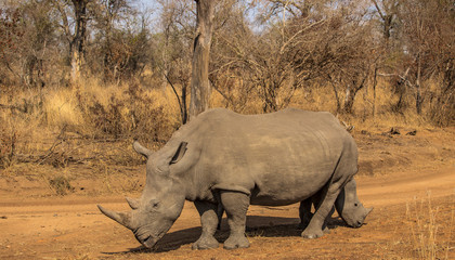 White Rhino in the Savanna
