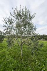 olives on the tree in the late summer