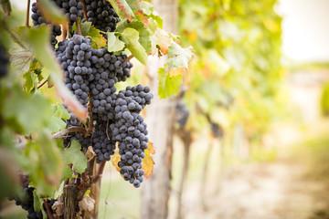 Grappolo di uva maturo nel vigneto pronto per la vendemmia