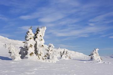 Fototapete - Frozen trees in a snowy winter landscape in Trysil, Norway
