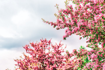 Vibrant vivid pink cherry blossoms with green leaves, foliage on tree branch isolated against grey, stormy sky in Saguenay, Quebec, Canada