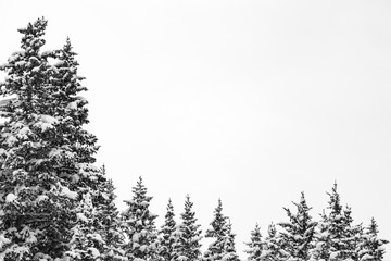 Pine forest tree tops black and white