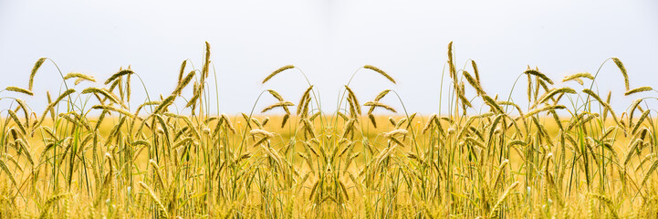 Ein reifes Kornfeld mit goldgelben Ähren. Eine künstlerische Darstellung mit symmetrischem Effekt durch ein gespiegeltes Motiv Fotoväggar