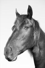 Horse head in b&w