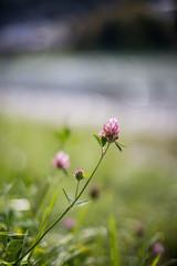 Kleeblüte und Fluss im Hintergrund, Tiefenunschärfe