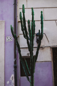 Cactus in Front of The Purple Pastel Wall