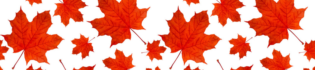header  panorama autumn background pattern a lot of red maple leaves