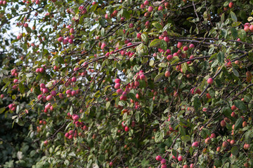 red crabapples tree