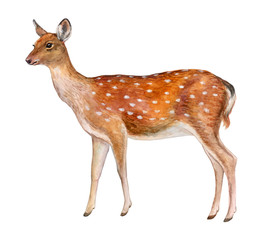 Spotted deer. Female deer isolated on white background. Watercolor. Illustration. Picture. Template
