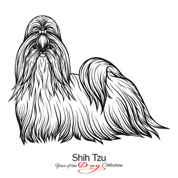Shih Tzu. Black and white graphic drawing of a dog.