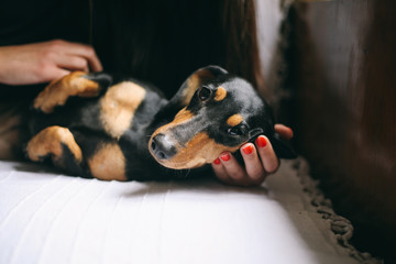 Adorable black dog looking at camera lying on a female's hand