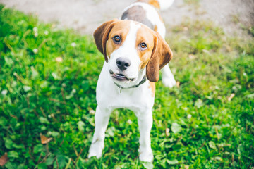 beagle dog playing outsside