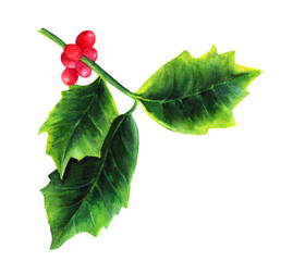Watercolor drawing of Christmas holly, isolated on white