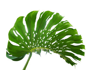 Green leaf of monstera or split-leaf philodendron (Monstera deliciosa) the tropical foliage plant growing in wild isolated on white background, clipping path included.