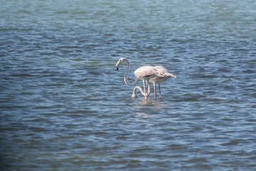 A pair of wild flamingos in the Amvrakikos sea