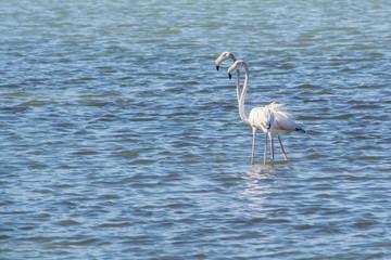 A pair of flamingos in Amvrakikos sea
