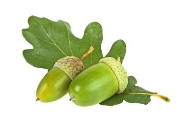 Green acorn fruits with leaf isolated on a white background