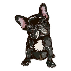 Illustration of dog breed French bulldog