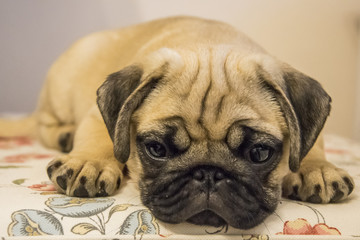 pug puppy closeup