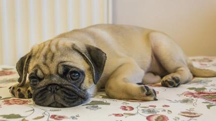 pug puppy closeup