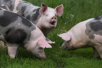 Closeup of domestic pigs when grazing on meadow