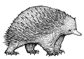 Echidna illustration, drawing, engraving, ink, line art, vector