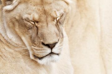 Fototapete - Beautiful sleepy lioness