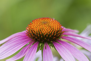 Ray and disk flowers of purple cone flower in Connecticut.