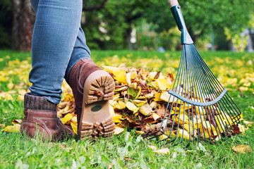 Gardener woman raking up autumn leaves in garden.