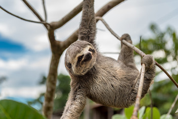 Small brown baby sloth hanging with three limbs