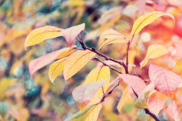 Autumn yellow leaves on branches. Yellow leaves in the background.