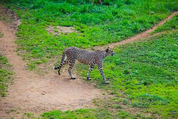 African Cheetah (Acinonyx jubatus) in the grass