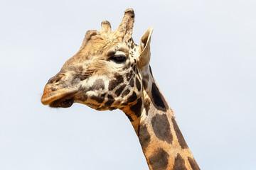 Giraffe (Giraffa camelopardalis) head and face