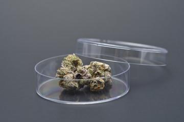 Marijuana buds in Petri-dish