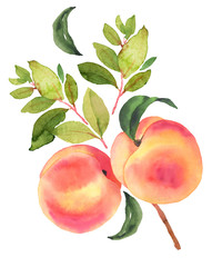 Branch with peaches. Watercolor illustration