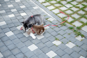 Portrait of a Siberian Husky puppy walking in the yard. Little cute puppy of Siberian husky dog outdoors with copy space