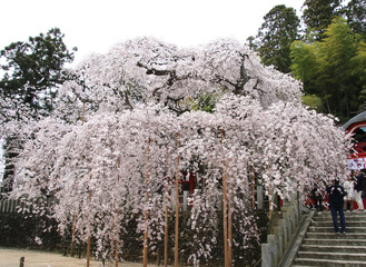 小川諏訪神社のシダレザクラ(福島市・いわき市)