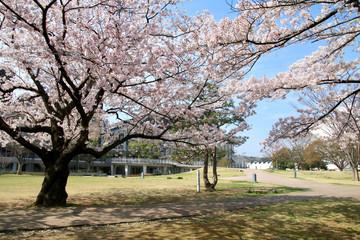 平中央公園の桜(福島県・いわき市)