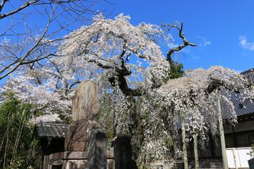 柳生院のシダレザクラ(福島県・いわき市)