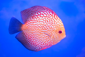 Pompadour Fish,aquarium fish on blue background