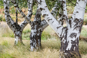 Troncos de abedul. Betula pubescens, alba.